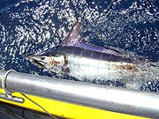 Blue striped marlin